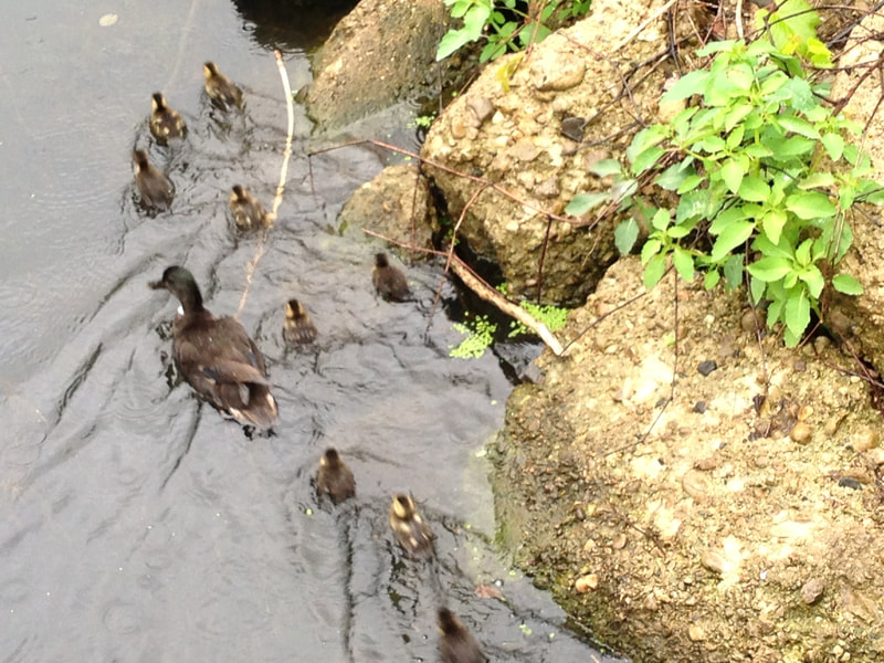 Nine ducklings, swimming with mother in creek.
